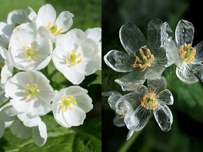 Diphylleia Grayi – o floare unica in lume