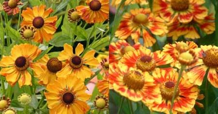 Floarea Elenei - Viguroasa Helenium Autumnale