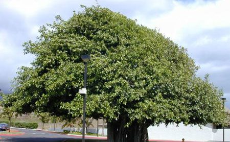 Smochinul indian (Ficus benghalensis)